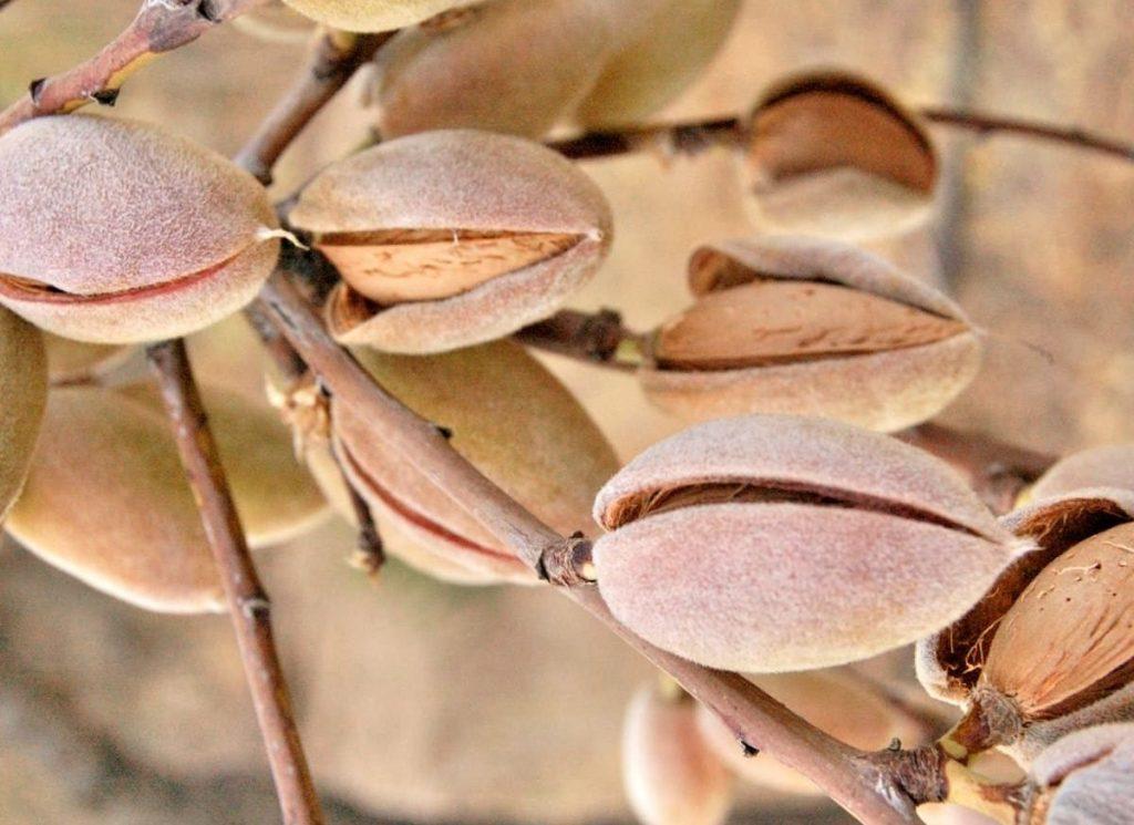 فوائد زيت اللوز الحلو للبشرة والشعر والهالات السوداء